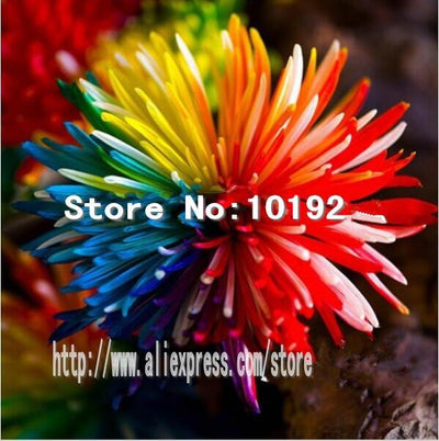- 100PC Rainbow Chrysanthemum Flower Seeds, Ornamental bonsai,rare color ,new Choose more chrysanthemum seeds Garden flower plant - Multi-Colored  jetcube