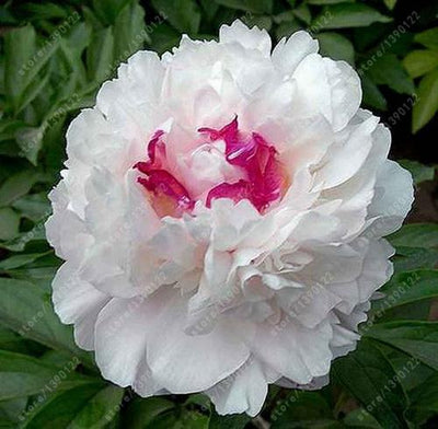 - 10 pcs/bag Double Blooms peony seeds Heirloom Sorbet Robust peony yellow bonsai flower seeds pot tree peony seeds garden plant - 18  jetcube