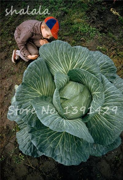 - 100 pcs/bag Giant Cabbage Seeds, Rare Russian Cabbage Seeds, Organic, Non-GMO Vegetable Seeds for Home & Garden - 11  jetcube