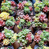 - 100pcs Fleshy Colorful Lithops Seed Pseudotruncatella Succulentas Raw Stone Cactus Seeds Succulents Potted Flowers - Red  jetcube