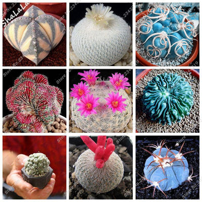 - 10 Pcs/Bag Real Mini Cactus Seeds, Rare Succulent Perennial Herb Plants,Bonsai Pot Flower Seeds, Indoor Plant Easy Grow In Pots -   jetcube