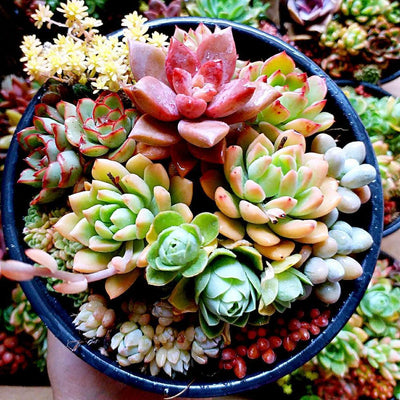 - 100pcs Fleshy Colorful Lithops Seed Pseudotruncatella Succulentas Raw Stone Cactus Seeds Succulents Potted Flowers - White  jetcube