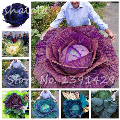 - 100 pcs/bag Giant Cabbage Seeds, Rare Russian Cabbage Seeds, Organic, Non-GMO Vegetable Seeds for Home & Garden -   jetcube