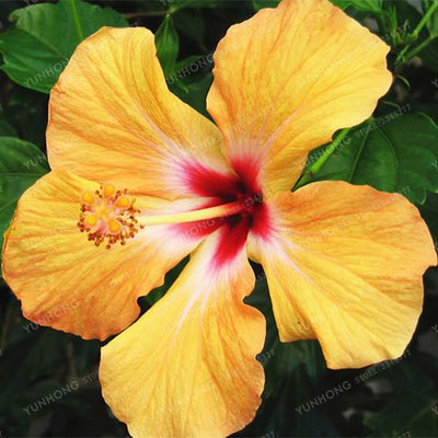 - 100 Pcs/Bag Hibiscus Flower Seeds Giant Hibiscus Seed Bonsai Flower Seeds Outdoor Plant Seeds For Home Garden Easy To Grow - 16  jetcube