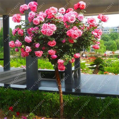 - 100pcs/bag rose tree rose seeds bonsai flower seeds tree seeds Chinese roses 18 colors give lover plant for home garden -   jetcube