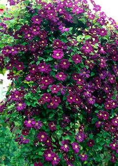 - 100 pcs/bag clematis plant, clematis seeds beautiful climbing plant flower seeds bonsai or pot perennial flowers for home garden - 13  jetcube