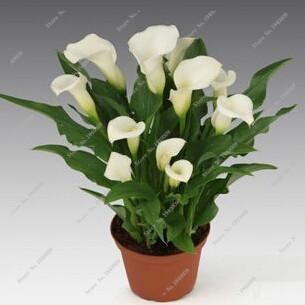 - 100Pcs Calla Lily Seeds,Rare Plants Flowers,Room Flowers Rhizome Zantedeschia Aethiopica, Bonsai Houseplants Home Garden Palnt - 24  jetcube
