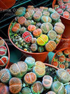 - 100 pcs/bag Real rare succulent seeds, perennial angiosperm plants flower seeds, Pseudotruncatella Living Stone lithops seeds -   jetcube