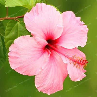 - 100 Pcs/Bag Hibiscus Flower Seeds Giant Hibiscus Seed Bonsai Flower Seeds Outdoor Plant Seeds For Home Garden Easy To Grow - 2  jetcube