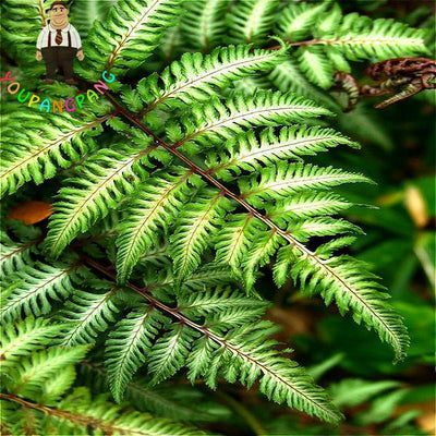 - 100pcs Garden Fern Seeds Rare Creeper Vines Grass Seed Mixed Rainbow Foliage Plants For Bonsai Plant 2017 New Sementes Sale . -   jetcube