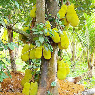 - 10 Pcs Fresh Jackfruit Seeds Tropical Giant Novel Tree Seeds Rare Miracle Fruit Seeds Garden Decor Bonsai Plants Free Shipping -   jetcube