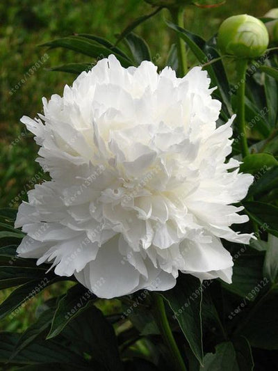 - 10 pcs/bag Double Blooms peony seeds Heirloom Sorbet Robust peony yellow bonsai flower seeds pot tree peony seeds garden plant - 21  jetcube