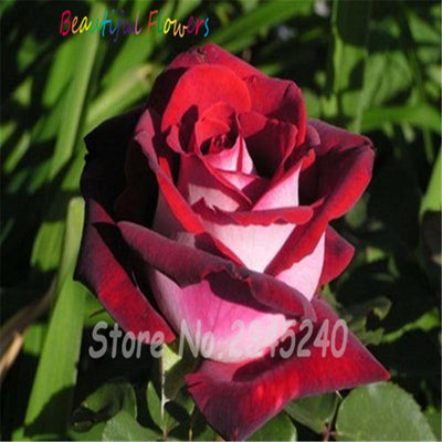 - 120PCS Flower Seed Holland Rose Seed Lover Gift Orange Green Rainbow RARE 23 Color To Choose DIY Home Gardening Flower - 2  jetcube