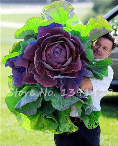 - 100 pcs/bag Giant Cabbage Seeds, Rare Russian Cabbage Seeds, Organic, Non-GMO Vegetable Seeds for Home & Garden - 3  jetcube