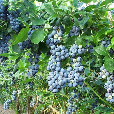 - 200 american giant blueberry fruit seeds Blue Berry Plants rare fruit tree seeds for home garden planting, Germination 95%+, -   jetcube
