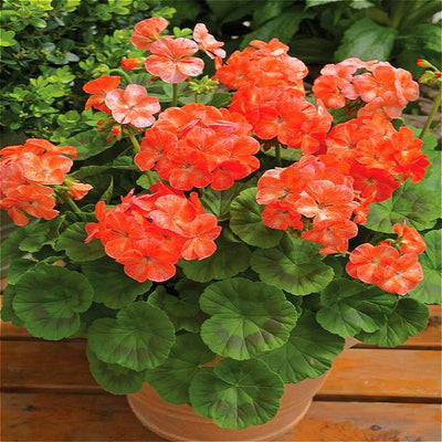 - 100Pcs/bag Geranium Seeds Of Flowers Perennial Indoor Pelargonium Bonsai Plant Garden Flowers Seeds For Balcony Flower Seed 2017 - Brown  jetcube