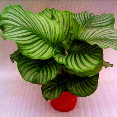 - 100 pcs Calathea Seeds Foliage Plant Bonsai Pot Variety Complete The budding rate 95% Four Seasons Planting Easy To Grow - 5  jetcube