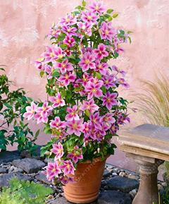 - 100 pcs/bag clematis plant, clematis seeds beautiful climbing plant flower seeds bonsai or pot perennial flowers for home garden - 6  jetcube