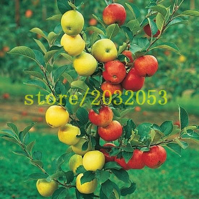 - 100 apple tree seeds Dwarf bonsai apple tree MINI fruit seeds for home garden planting send big strawberry seeds as gift -   jetcube