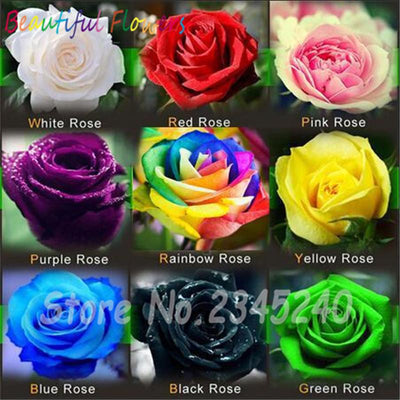 - 120PCS Flower Seed Holland Rose Seed Lover Gift Orange Green Rainbow RARE 23 Color To Choose DIY Home Gardening Flower -   jetcube