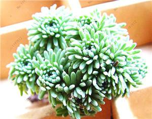 - 200 / bag Mix Succulents Seeds, Rare cactus hybrid bonsai seeds, lotus Lithops seed, Bonsai plants Seeds Flower pots planters - Light Green  jetcube