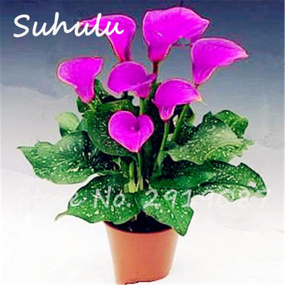 - 10 Pcs Rare Heirloom Bonsai Different Types of Colorful Calla Lily Beautiful Flowers Common Callalily Indoor Beauty Your Garden -   jetcube