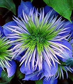 - 100 pcs/bag clematis plant, clematis seeds beautiful climbing plant flower seeds bonsai or pot perennial flowers for home garden - 11  jetcube
