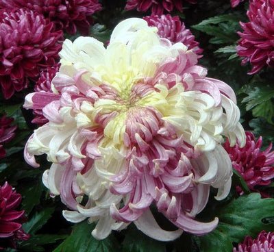 - 100PC Rainbow Chrysanthemum Flower Seeds, Ornamental bonsai,rare color ,new Choose more chrysanthemum seeds Garden flower plant - Clear  jetcube
