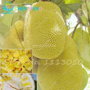 - 10 Pcs Fresh Jackfruit Seeds Tropical Giant Novel Tree Seeds Rare Miracle Fruit Seeds Garden Decor Bonsai Plants Free Shipping - 10  jetcube