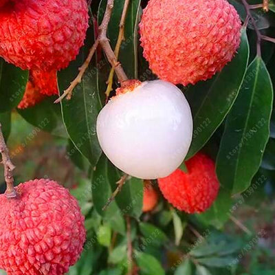 - 10 pcs Lychee Seeds Home Gardening Outdoor Fruit seeds litchi tree Sementes House plant pot Bonsai seeds -   jetcube