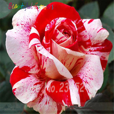 - 120PCS Flower Seed Holland Rose Seed Lover Gift Orange Green Rainbow RARE 23 Color To Choose DIY Home Gardening Flower - 7  jetcube
