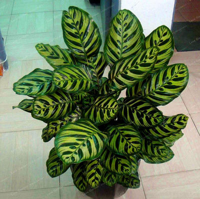- 100 pcs Calathea Seeds Foliage Plant Bonsai Pot Variety Complete The budding rate 95% Four Seasons Planting Easy To Grow - 4  jetcube