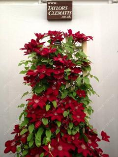 - 100 pcs/bag clematis plant, clematis seeds beautiful climbing plant flower seeds bonsai or pot perennial flowers for home garden - 9  jetcube