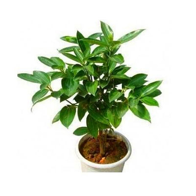 - 10 pcs/bag bonsai cinnamon tree indoor plabts evergreen tree seeds herb traditional chinese medicine seeds plant for home garden -   jetcube