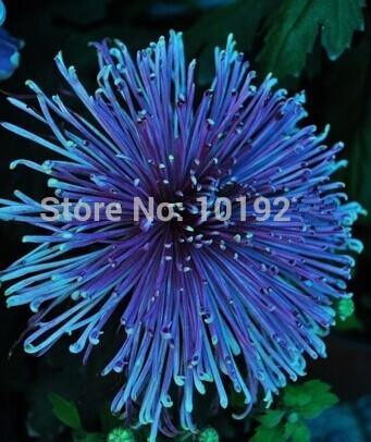 - 100PC Rainbow Chrysanthemum Flower Seeds, Ornamental bonsai,rare color ,new Choose more chrysanthemum seeds Garden flower plant - Sky Blue  jetcube