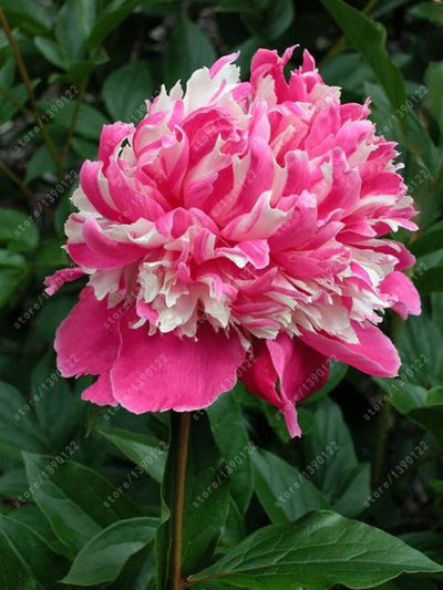 - 10 pcs/bag Double Blooms peony seeds Heirloom Sorbet Robust peony yellow bonsai flower seeds pot tree peony seeds garden plant - 10  jetcube