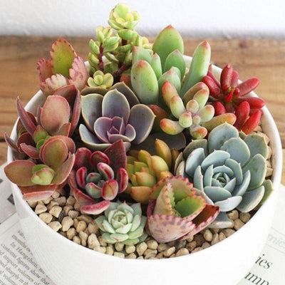- 100pcs Fleshy Colorful Lithops Seed Pseudotruncatella Succulentas Raw Stone Cactus Seeds Succulents Potted Flowers - Green  jetcube