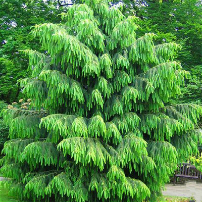 - 100 Pcs Rare Purple Pinus Seeds Chinese Bonsai Tree Pine Seeds Garden Perennial Four Season Evergreen Plants Resistance To Cold - Light Green  jetcube