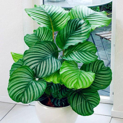 - 100 pcs Calathea Seeds Foliage Plant Bonsai Pot Variety Complete The budding rate 95% Four Seasons Planting Easy To Grow -   jetcube