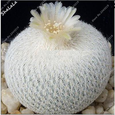 - 10 Pcs/Bag Real Mini Cactus Seeds, Rare Succulent Perennial Herb Plants,Bonsai Pot Flower Seeds, Indoor Plant Easy Grow In Pots - 6  jetcube