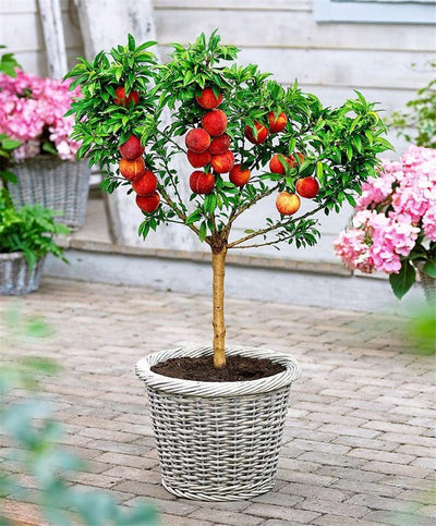 - 10 pcs sweet peach seeds,Peach Tree seeds,Dwarf bonanza peaches,bonsai Fruit seeds for home garden plants -   jetcube