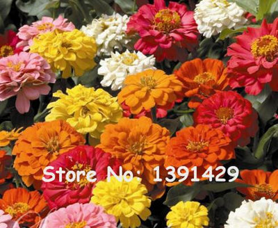 - 200 Mixed Zinnia Seeds Pretty Pastel Colors Flower Seeds bonsai pot DIY home garden flower ,easy growing, Free Shipping -   jetcube
