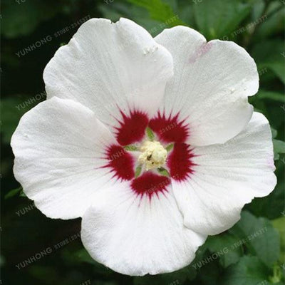 - 100 Pcs/Bag Hibiscus Flower Seeds Giant Hibiscus Seed Bonsai Flower Seeds Outdoor Plant Seeds For Home Garden Easy To Grow - 7  jetcube