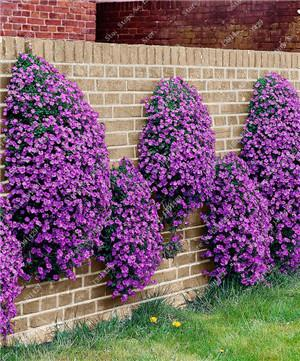 - 200 Creeping Thyme Seeds Flower Seeds ROCK CRESS GROUND COVER Seeds Carpet Evergreen Plant Easy to Grow for Garden Lawn - 6  jetcube