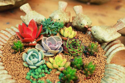 - 100pcs Fleshy Colorful Lithops Seed Pseudotruncatella Succulentas Raw Stone Cactus Seeds Succulents Potted Flowers - Purple  jetcube