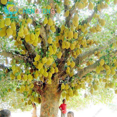 - 10 Pcs Fresh Jackfruit Seeds Tropical Giant Novel Tree Seeds Rare Miracle Fruit Seeds Garden Decor Bonsai Plants Free Shipping - 3  jetcube