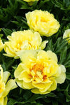 - 10 pcs/bag Double Blooms peony seeds Heirloom Sorbet Robust peony yellow bonsai flower seeds pot tree peony seeds garden plant - 12  jetcube