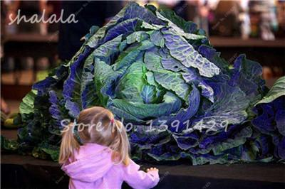 - 100 pcs/bag Giant Cabbage Seeds, Rare Russian Cabbage Seeds, Organic, Non-GMO Vegetable Seeds for Home & Garden - 24  jetcube