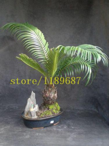 - 10 PCS BONSAI cycas tree seeds rare mini bonsai foliage plants purify the air cycads tree -   jetcube