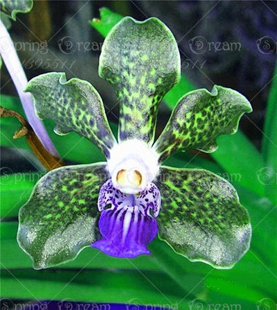 - 100pcs/bag rare orchid,orchid seeds,bonsai flower seeds,4 colours Heirloom Orchid Tectorum Flower Seeds, plant for home garden -   jetcube